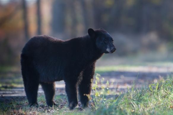 Bear on Bear Rd