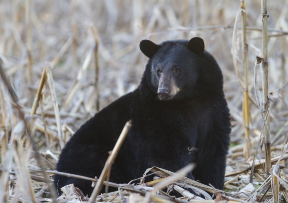 Bear sitting in corn field