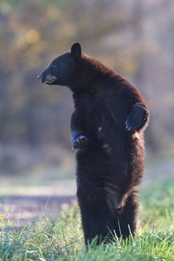 Bear standing on bear rd 1