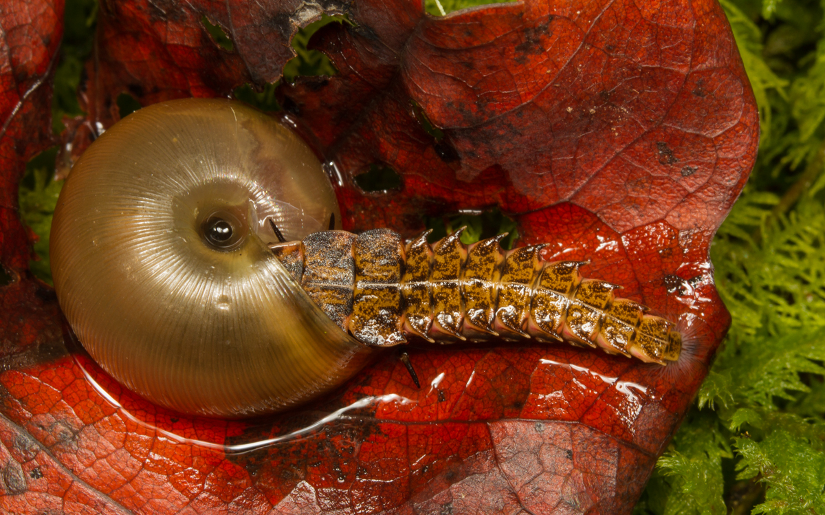 firefly larvae | Roads End Naturalist