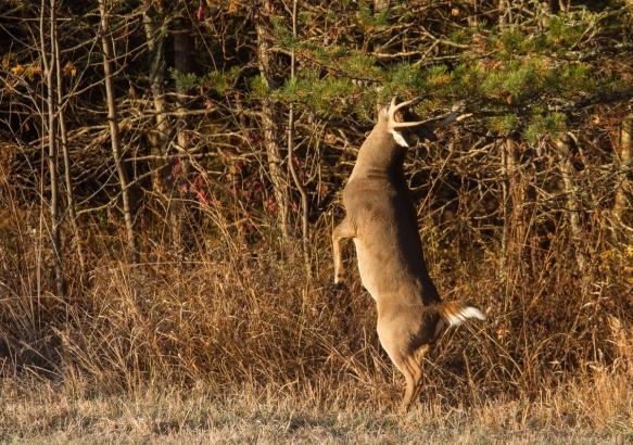 Buck rubbing tree branches