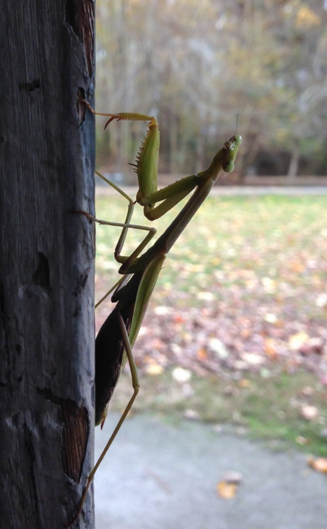 Carolina Mantis on building