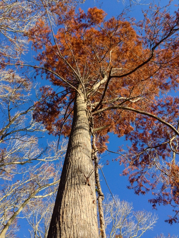Cypress with fall color