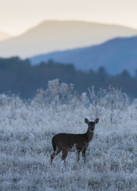 Deer before sunrise