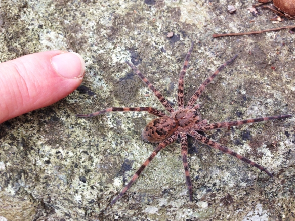 Dolomedes compared to my finger