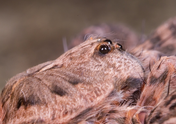 Dolomedes side view
