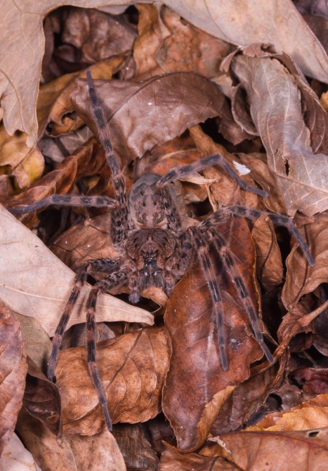 Dolomedes spider