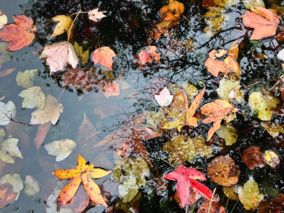 Fall leaves in Pungo canal 1