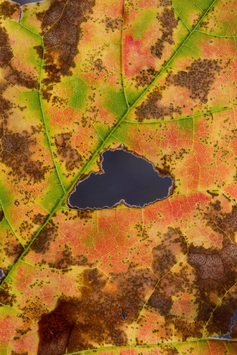 Fall maple leaf close up