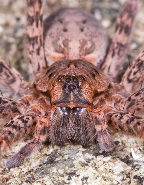 Female Dolomedes front view