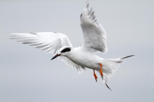 Forster's tern landing