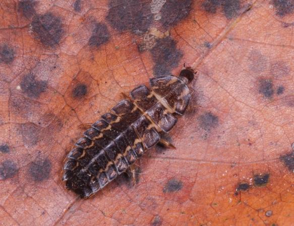Glow worm on leaf