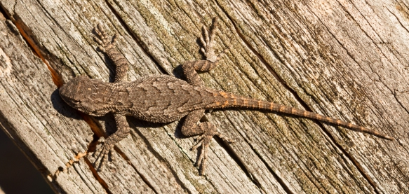 Juvenile Eastern Fence Lizard
