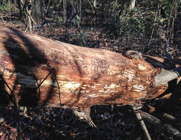 Log with stripped bark