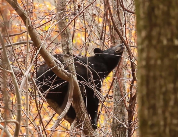 Mother Black Bear eyeing grapes