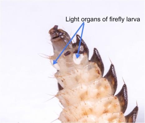 photic organs
