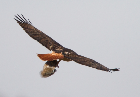Red-tailed Hawk pursued by crow closeup