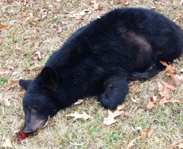 Roadkill bear