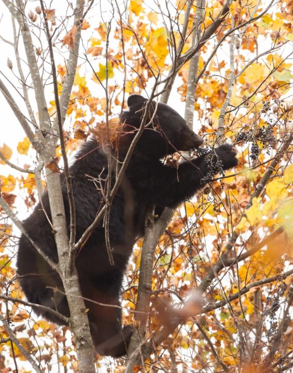 sow Bear eating grapes 1