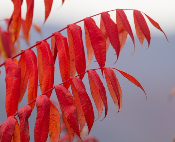 Sumac fall color