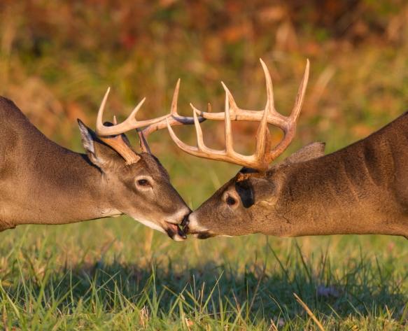Two bucks talking it over