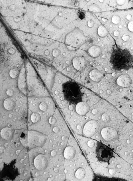 water drops on poplar leaf on ground