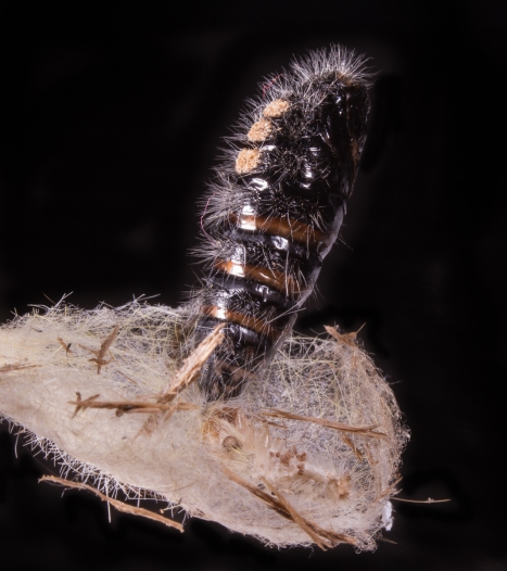 White-marked Tussock Moth cocoon and pupa