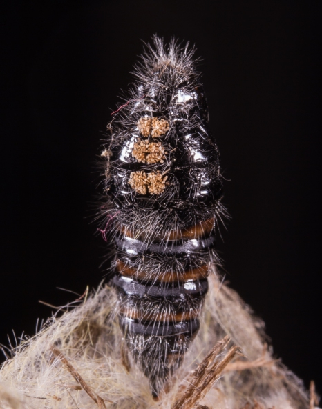 White-marked Tussock Moth pupa 1