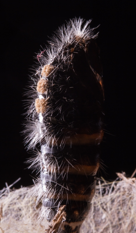 White-marked Tussock Moth pupa backlit