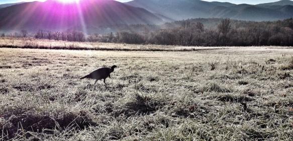 Wild Turkey at sunrise