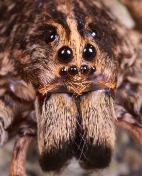 Wolf spider front view