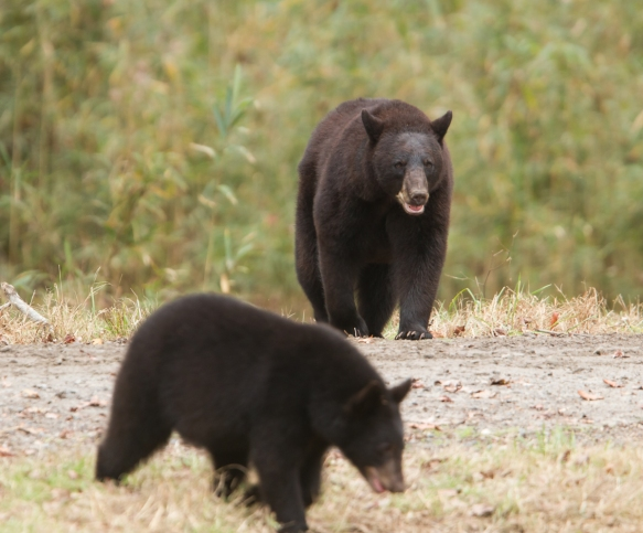 Bears coming out of woods