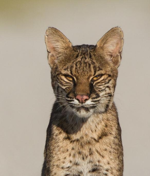 Bobcat sitting 1