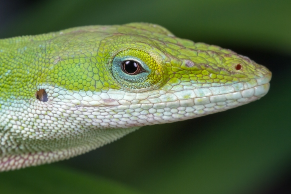 Carolina Anole head Apr