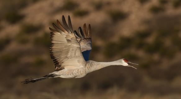 Crane calling 1