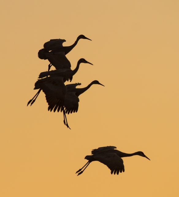 Cranes dropping into pond at sunset