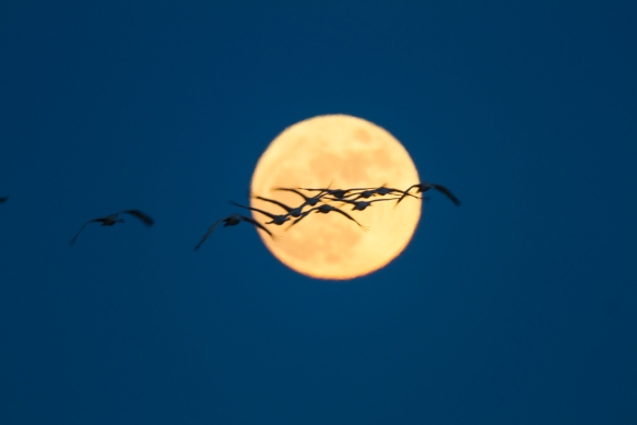 Cranes flying across moon