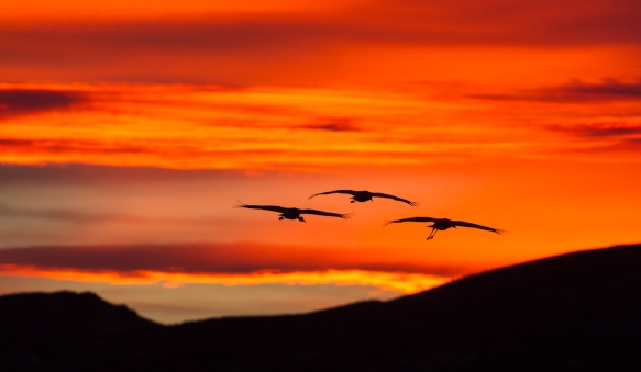 Cranes flying in fiery sunset