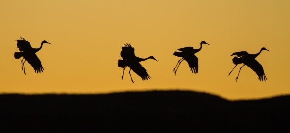 Sandhill Cranes landing at sunset