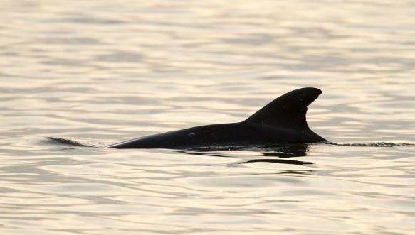Dolphin bonus