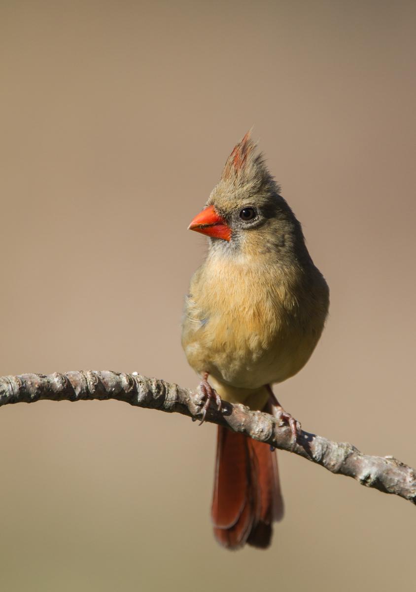 Northern Cardinal Roads End Naturalist