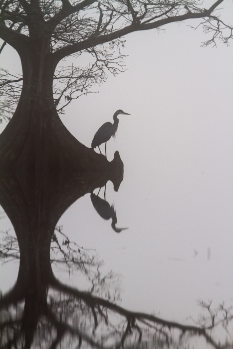 Great Blue Heron on foggy morning at Mattamuskeet