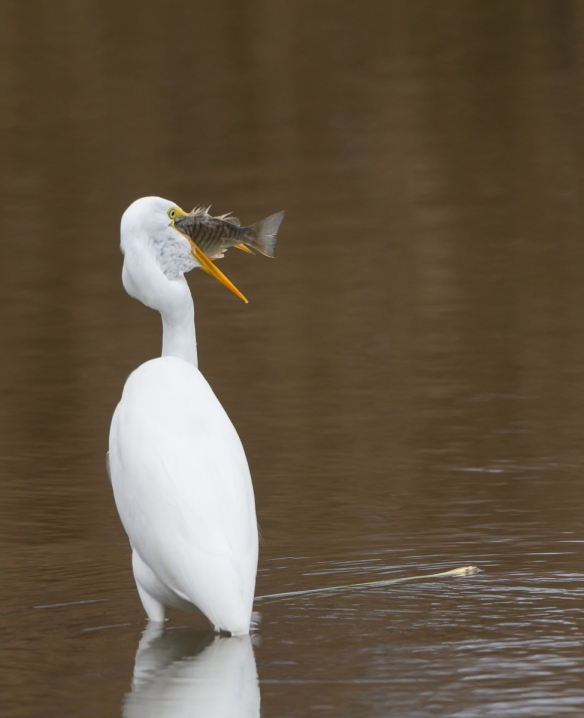Great Egret with fish from behind