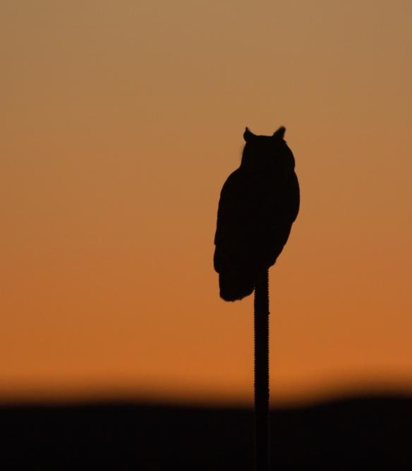 Great Horned Owl at sunrise