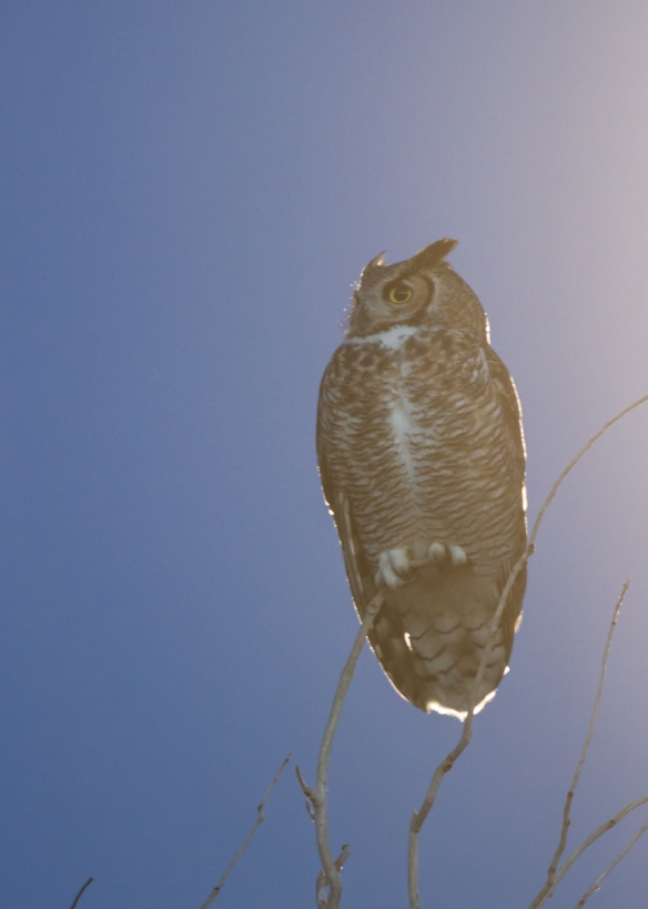 Great Horned Owl by the light of a full moon