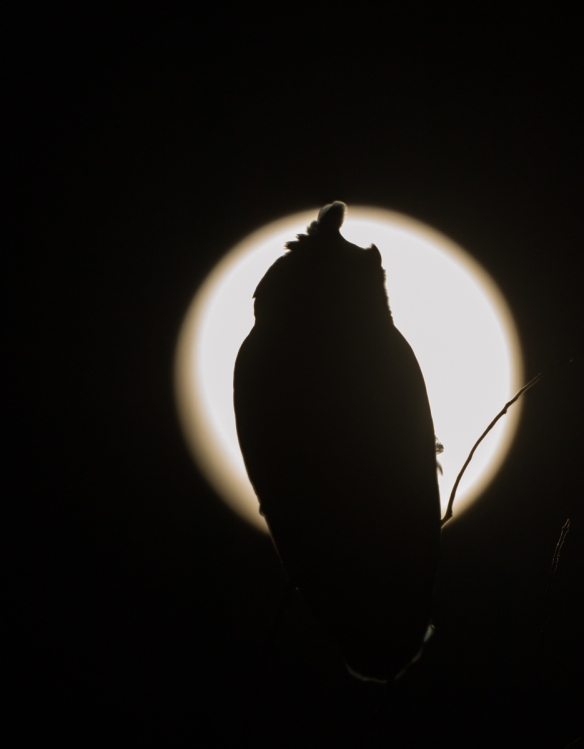 Great Horned Owl silhouette against full moon