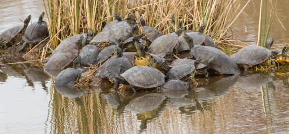 Herd of turtles