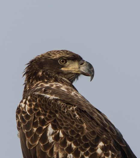 Immature Bald Eagle close up