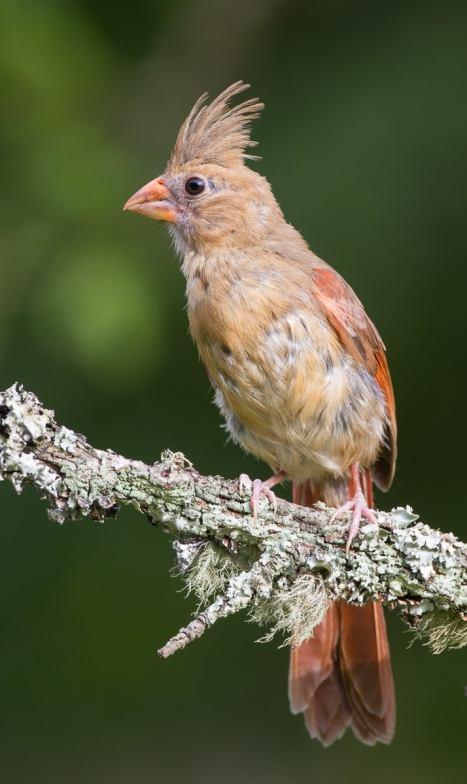 Immature or molting female cardinal