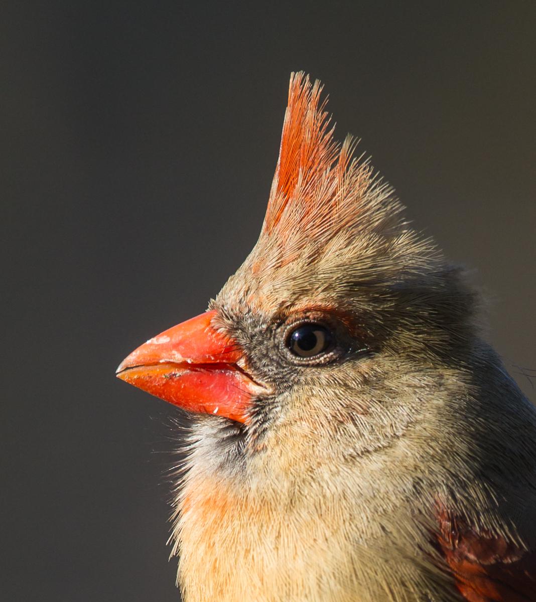 Cardenal del norte, sonidos, todo sobre pájaros - laboratorio de Cornell de la ornitología